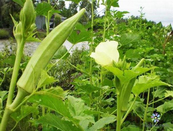 Lưu ý về cách trồng đậu bắp