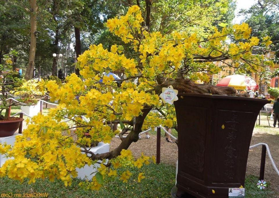 Hướng dẫn cách trồng mai vàng đơn giản tại nhà