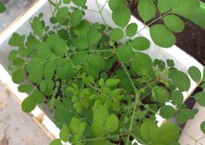 Hướng dẫn trồng chùm ngây trong thùng xốp
