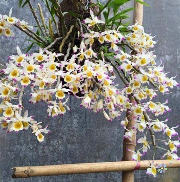 Hướng dẫn trồng và chăm sóc lan ngọc thạch