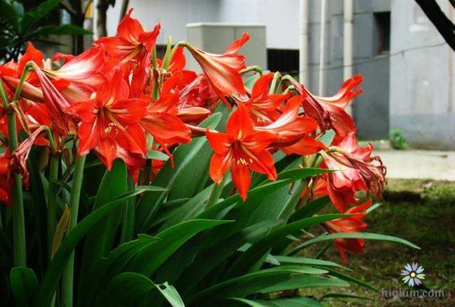 Hoa loa kèn có nhiều ý nghĩa trong cuộc sống