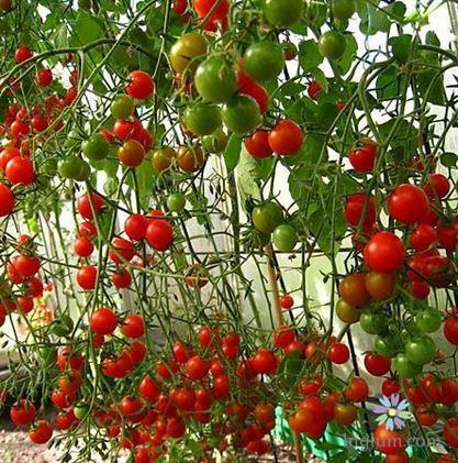 Cây cà chua chuỗi ngọc