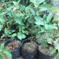 Hướng dẫn trồng cây sung cảnh