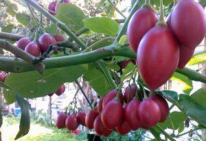 Hướng dẫn trồng cà chua thân gỗ