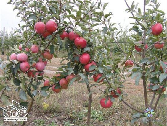 Mẹo trồng táo lùn đỏ