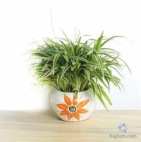 Bí quyết trồng cây cỏ lan chi để bàn đẹp