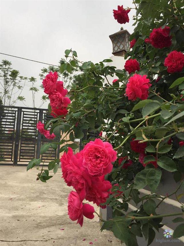 Tìm hiểu đặc điểm hoa hồng tường vi