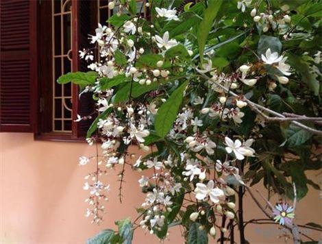 Cách trồng dạ ngọc minh châu tại nhà