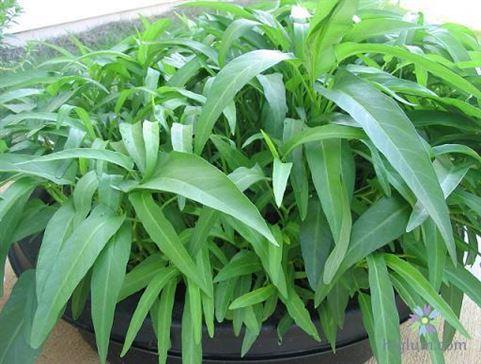 Hướng dẫn trồng rau muống trên sân thượng - higlumcom
