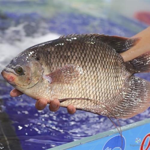 Cá tai tượng dễ nuôi và chăm sóc