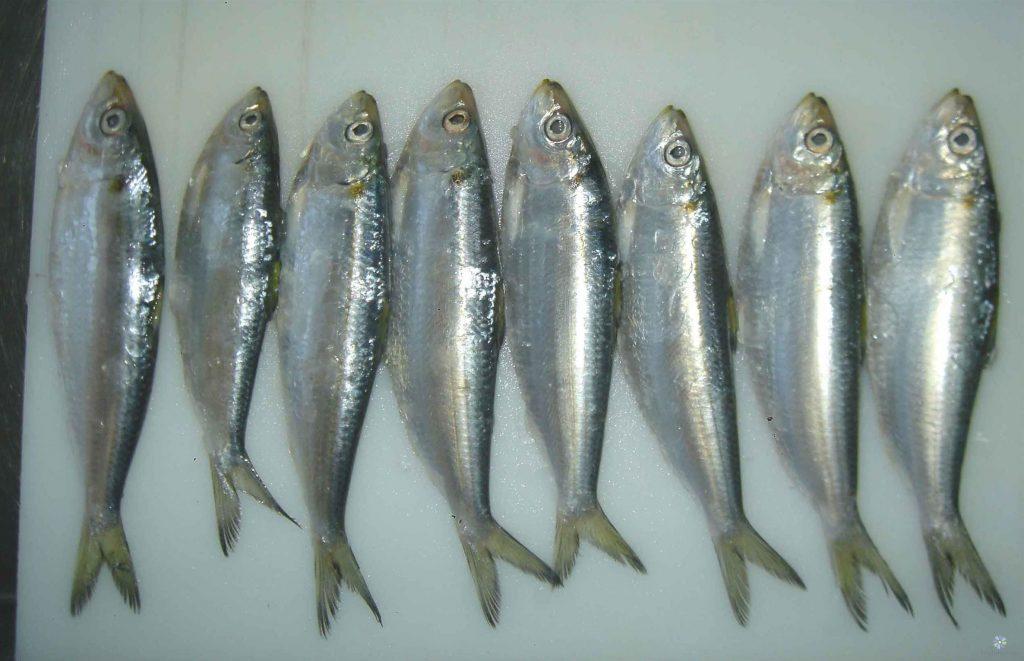 Cá trích sinh sản tương đối lớn mỗi năm