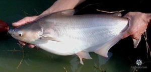 Hình ảnh cá hú