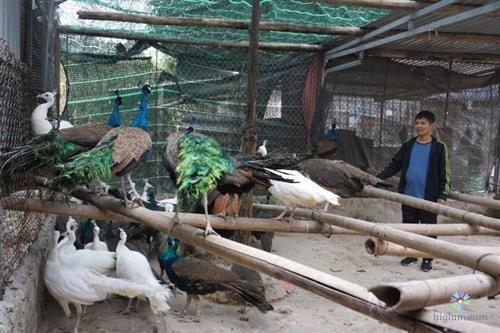 Trang trại nuôi chim công giống