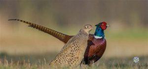Hướng dẫn nuôi chim trĩ