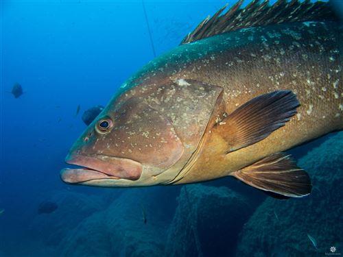 Hình ảnh cá mú