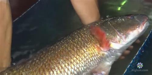 Hình ảnh cá sủ vàng