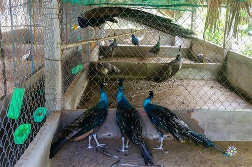 Cách nuôi chim công giống