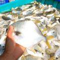 Hướng dẫn nuôi cá chim