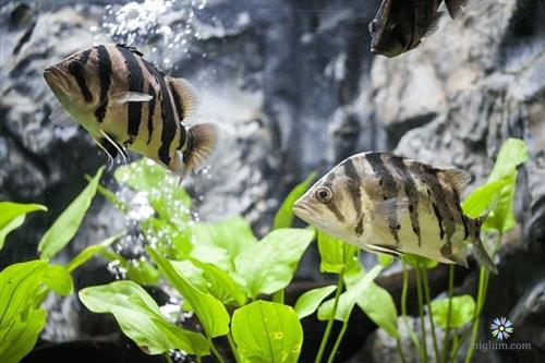 Bể nuôi cá hổ cần phải rộng và nhiều tiểu cảnh bên trong