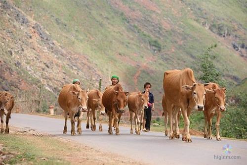 Giống bò H'Mông