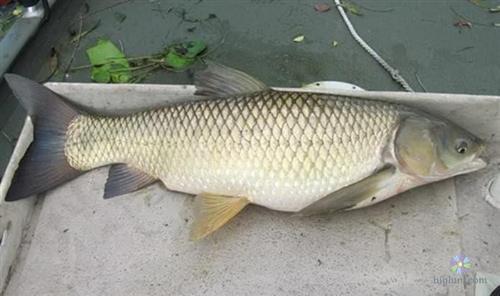 Kinh nghiệm nuôi cá trắm cỏ