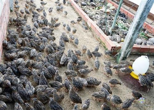 Chăm sóc chim cút