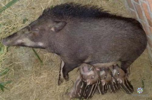 Lợn rừng mẹ chăm sóc đàn con