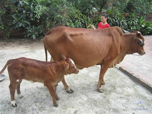 Chọn những con bò giống khỏe mạnh - bố mẹ có tố chất tốt