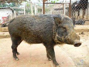 Kỹ thuật nuôi lợn rừng