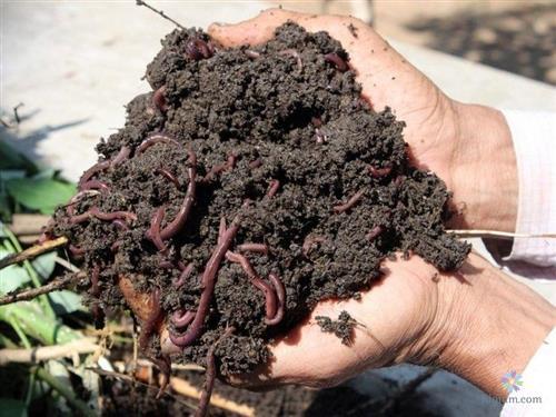Giun quế có nhiều tác dụng trong nông nghiệp