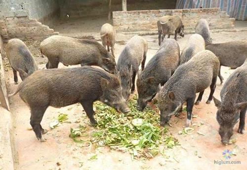 Là động vật ăn tạp, thức ăn của lợn rừng khá đa dạng và phong phú