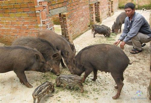 Đàn lợn rừng khỏe mạnh - nhanh cho xuất chuồng