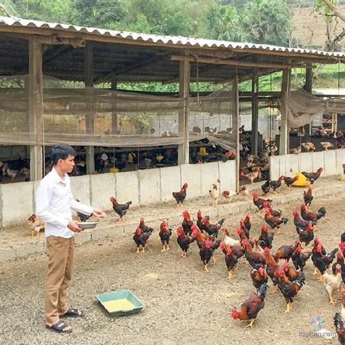 Những mô hình nuôi gà thả vườn thành công cần được nhân rộng