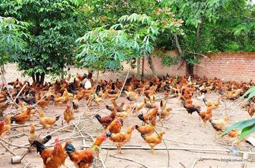 Mô hình nuôi gà thả vườn cho hiệu quả kinh tế cao