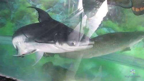 Chăm sóc cá mập nước ngọt đơn giản hơn bạn nghĩ