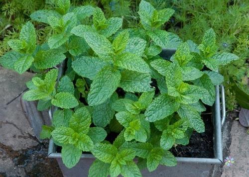 Sử dụng thùng xốp - khay nhựa trồng bạc hà tại nhà