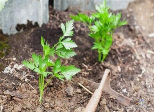 Hình ảnh 2 cây rau cần tây