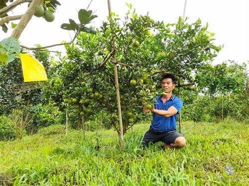 Anh thanh niên đang chăm sóc cây quýt đường