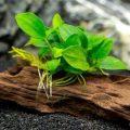 Hướng dẫn trồng ráy thủy sinh