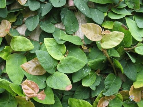 Bạn cần cân nhắc trồng cây vảy ốc - vì chúng phát triển khá nhanh
