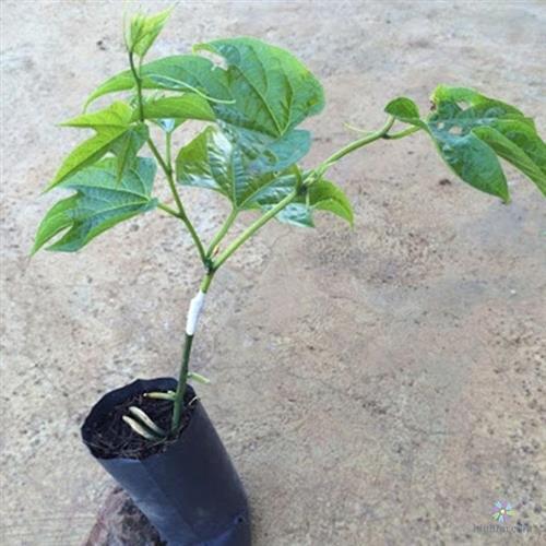 Hình ảnh cây gấc giống mua từ cửa hàng bán cây