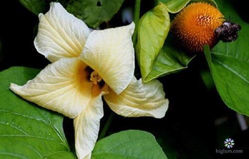 Hình ảnh hoa gấc và một trái non
