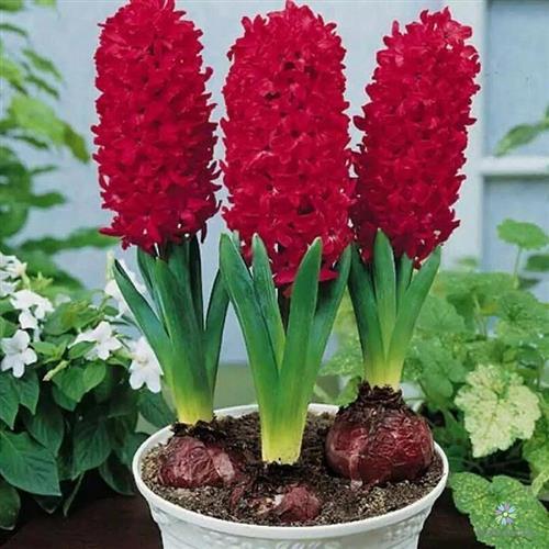 3 bông hoa tiên ông màu đỏ