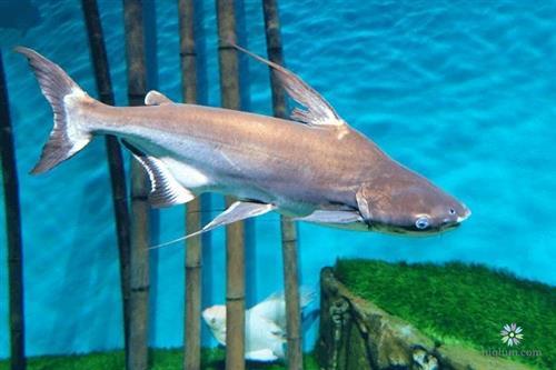 Có nên nuôi các loại cá khác cùng cá mập cảnh không?
