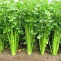 Hướng dẫn trồng và chăm sóc rau cần tây