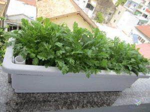 Hướng dẫn trồng rau cải cúc