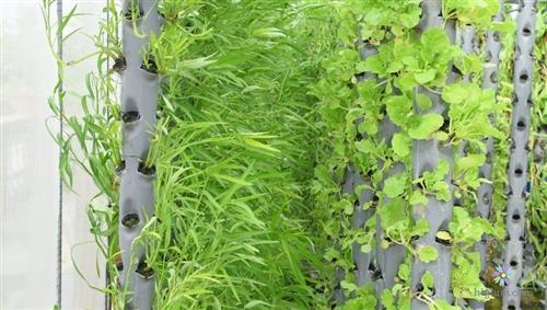 Hướng dẫn trồng rau khí canh